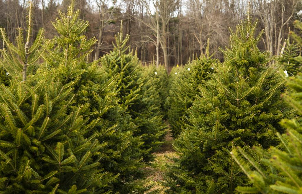Live Christmas Tree Tips | Kelly Orzel