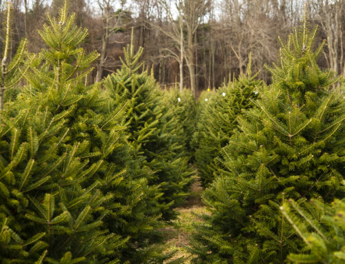 12 Christmas Tree Tips