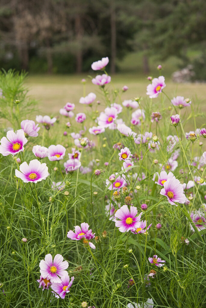 Cosmos, Top 10 Annual Flowers | Kelly Orzel