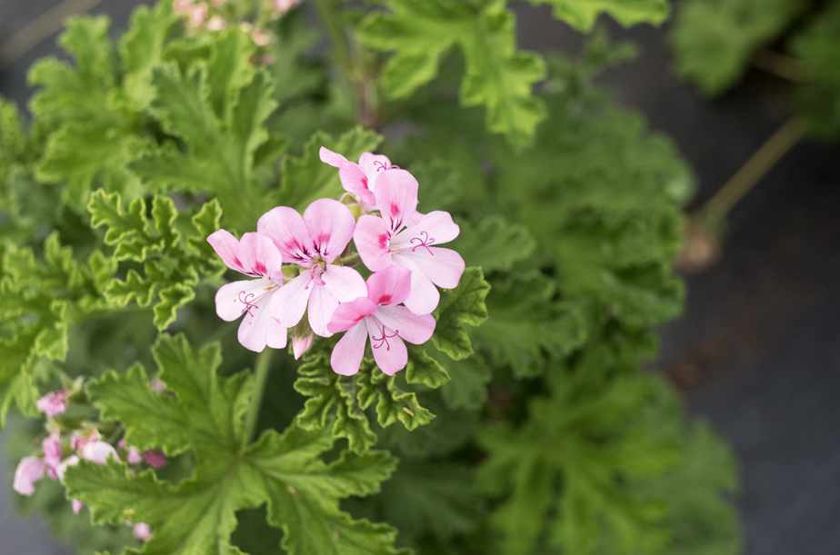 Addicted to Scented Geraniums