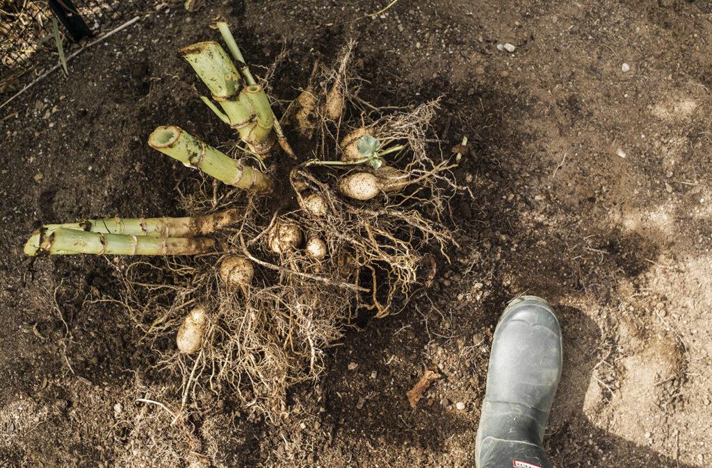 Digging Dahlia Tubers | Kelly Orzel