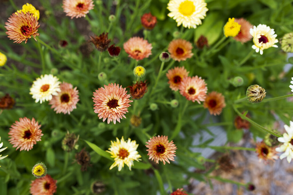 Annual Flowers: Calendula | Kelly Orzel