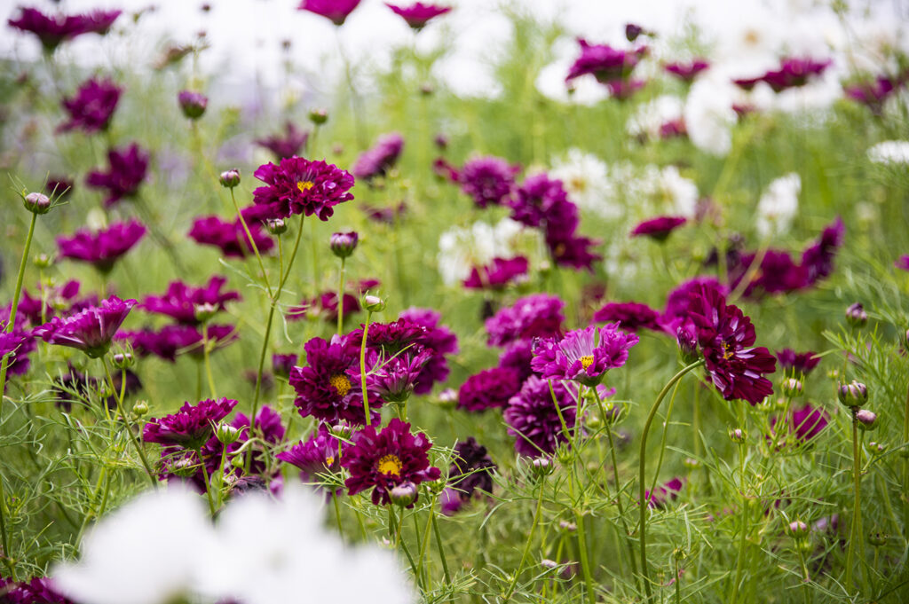 Annual Flowers: Cosmos 'Double Click' | Kelly Orzel