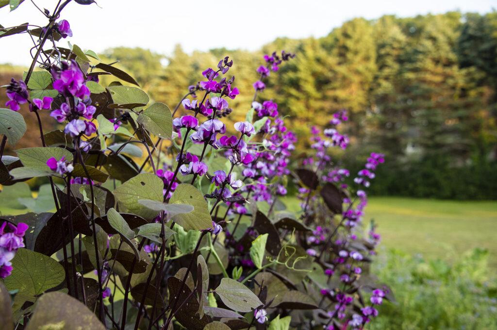 Hyacinth Bean Vine 'Ruby Moon' | Kelly Orzel