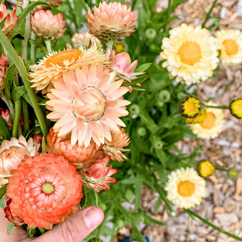 Strawflowers 'Apricot/Peach Mix' | Kelly Orzel
