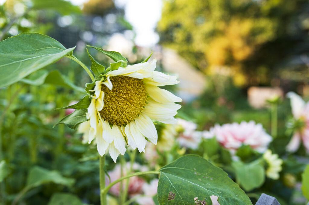Annual Flowers: Sunflowers | Kelly Orzel