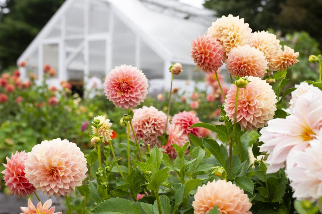 Annual Flowers: Growing Dahlias | Kelly Orzel