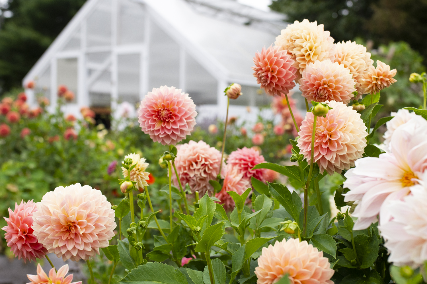 Annual Flowers: Growing Dahlias | Kelly Orzel
