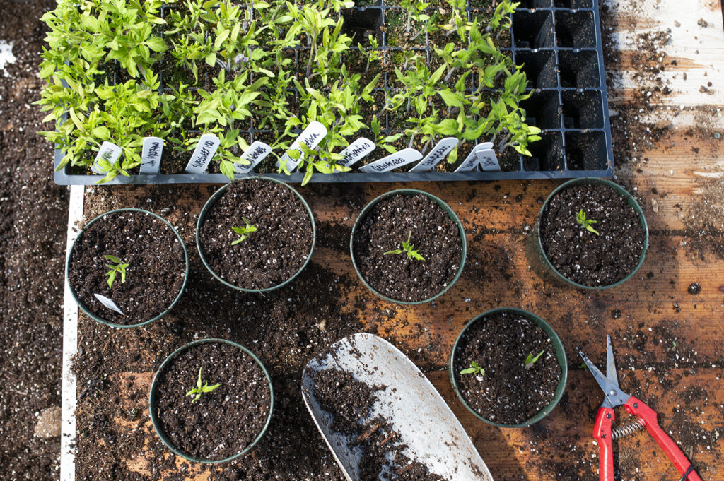 Why Thinning, Repotting, and Hardening Off are Crucial | Kelly Orzel
