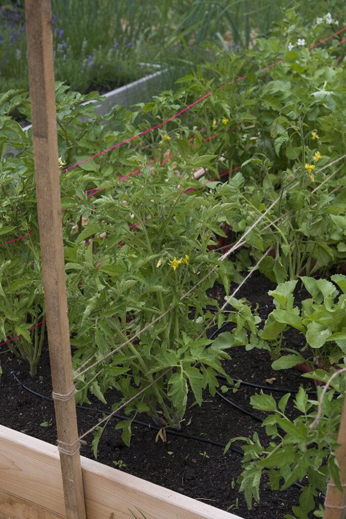 Trellising tomatoes | Kelly Orzel