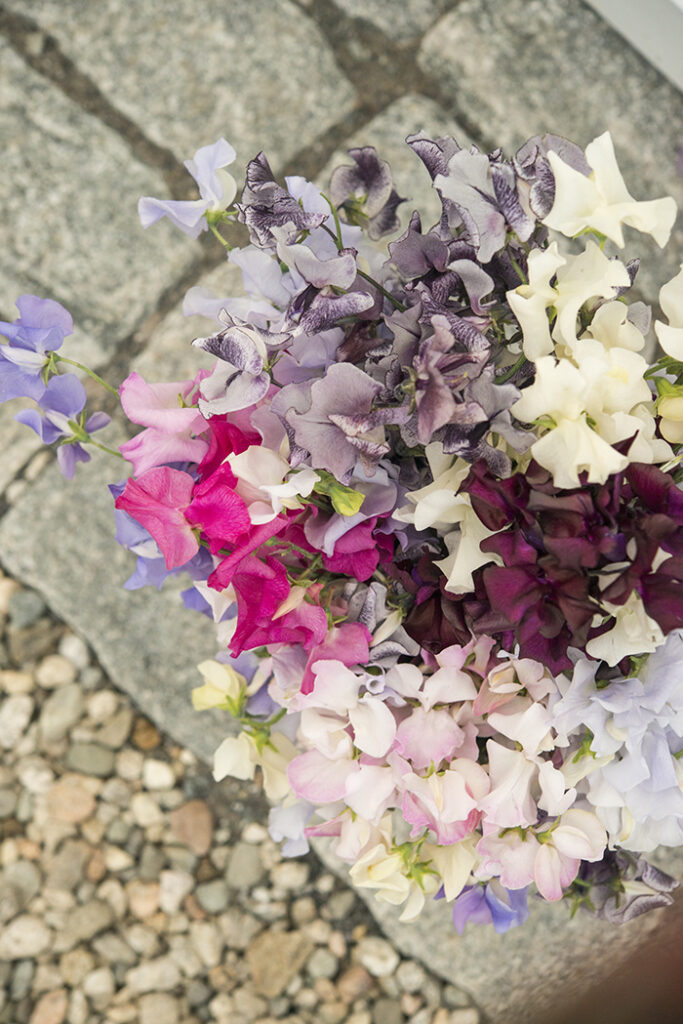 Sweet Peas, Top 10 Annual Flowers | Kelly Orzel