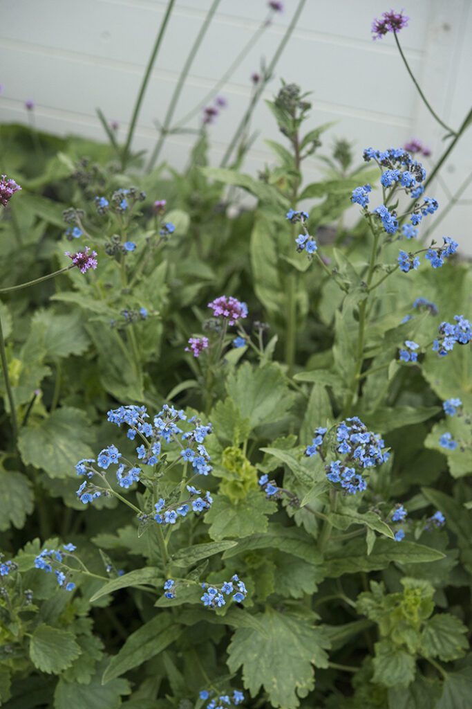 Chinese Forget-Me-Nots | Kelly Orzel