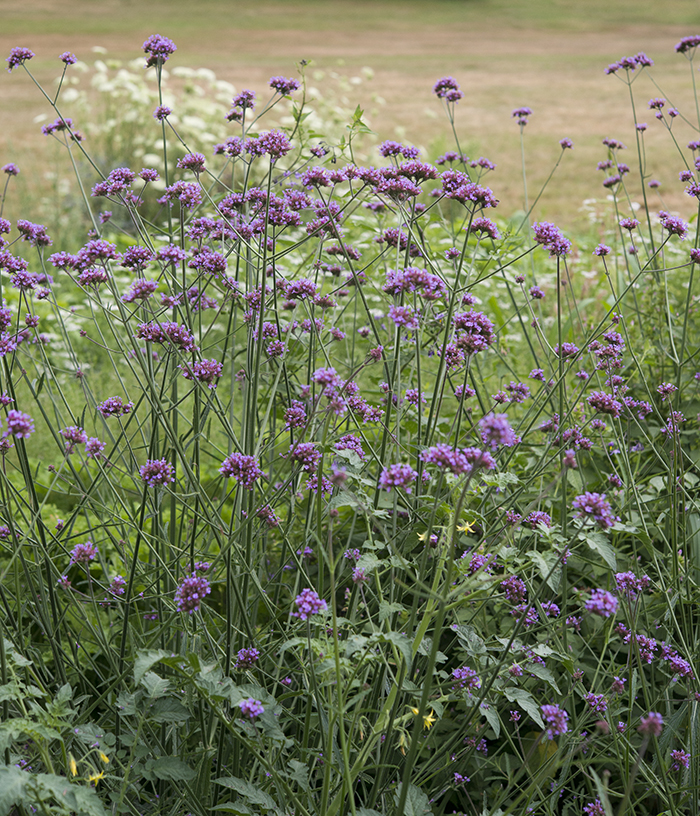 Verbena Bonariensis, Top 10 Annual Flowers | Kelly Orzel