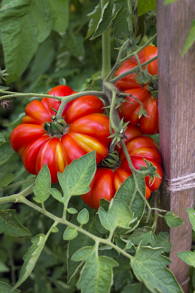 Tomato Growing Tips | Kelly Orzel