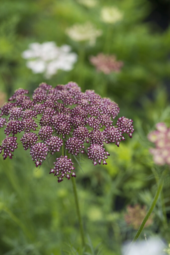 Ammi 'Dara' Top 10 Annual Flowers | Kelly Orzel