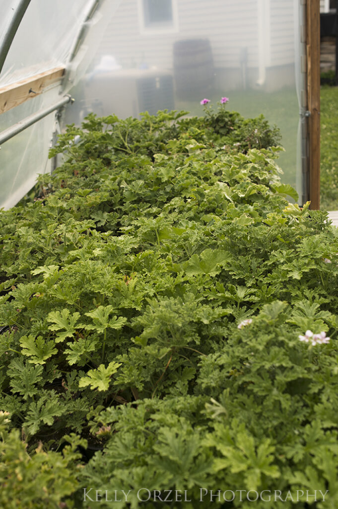 Propagating Scented Geraniums | Kelly Orzel
