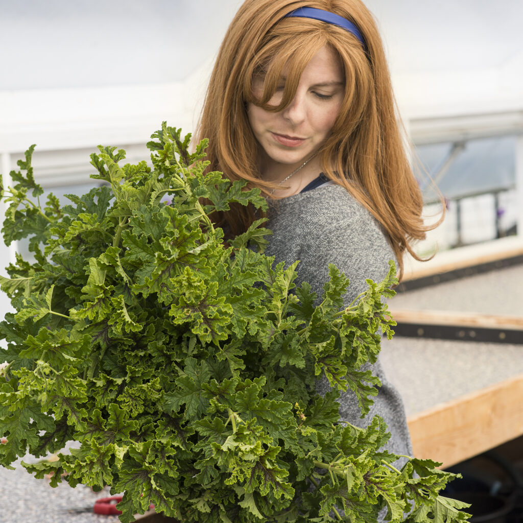 Beginner's Guide to Pinching Plants, Chocolate Mint Scented Geranium | Kelly Orzel