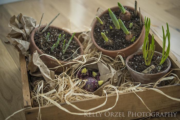 Forced Bulbs| Kelly Orzel