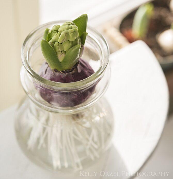 Forced hyacinth bulb | Kelly Orzel