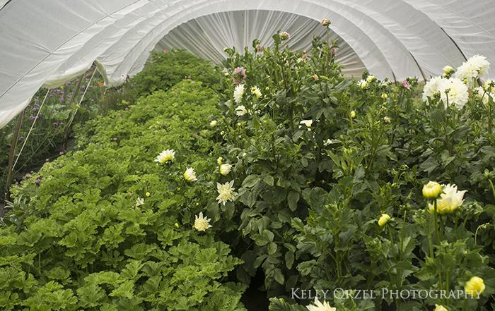 Growing Scented Geraniums | Kelly Orzel