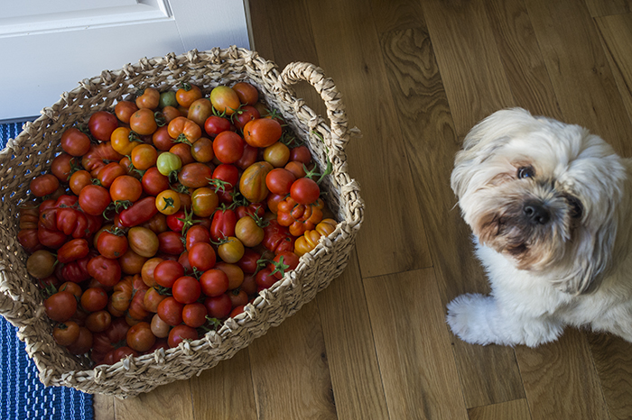 Tomato Harvest | Kelly Orzel
