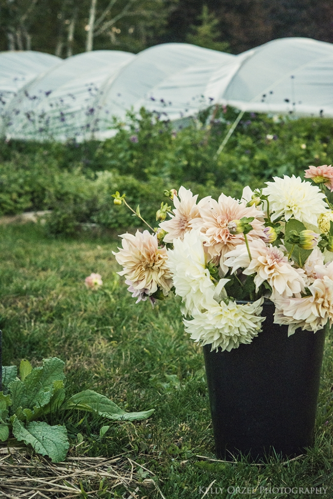Harvesting Dahlias | Kelly Orzel