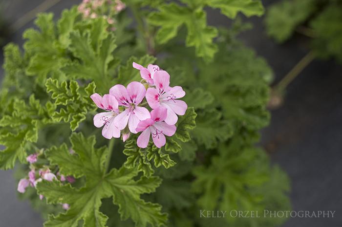 Mimosa Scented Geranium | Kelly Orzel