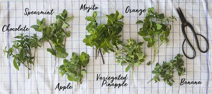 Mint Varieties in the Garden   Kelly Orzel