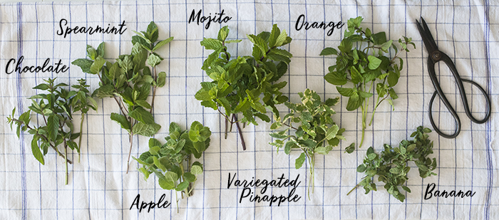 Mint Varieties in the Garden | Kelly Orzel