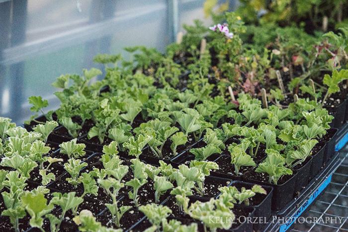 Scented Geranium Cuttings | Kelly Orzel