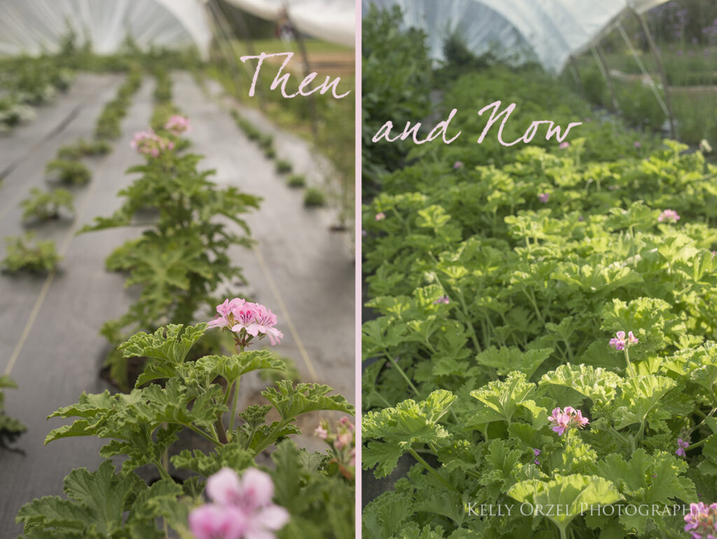 Scented Geraniums in Bloom | Kelly Orzel