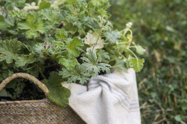 Pelargoniums, Scented Geraniums | Kelly Orzel