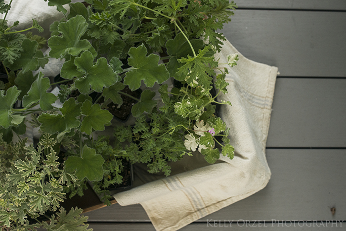 Scented Geraniums, Smell the flowers | Kelly Orzel