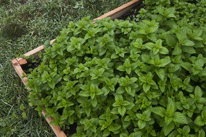 Mint in the Garden   Kelly Orzel