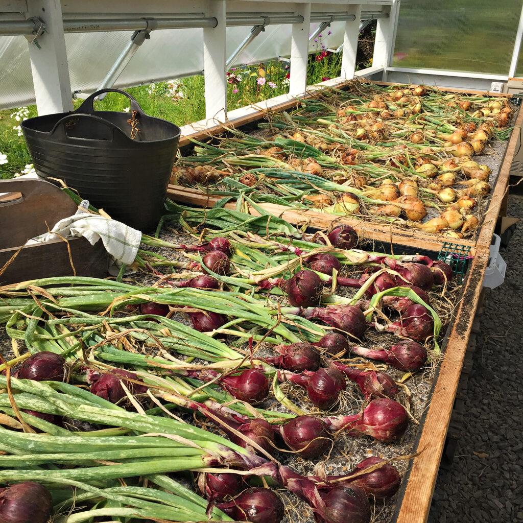 Top 10 Veggie Garden Must-Haves - Onions | Kelly Orzel