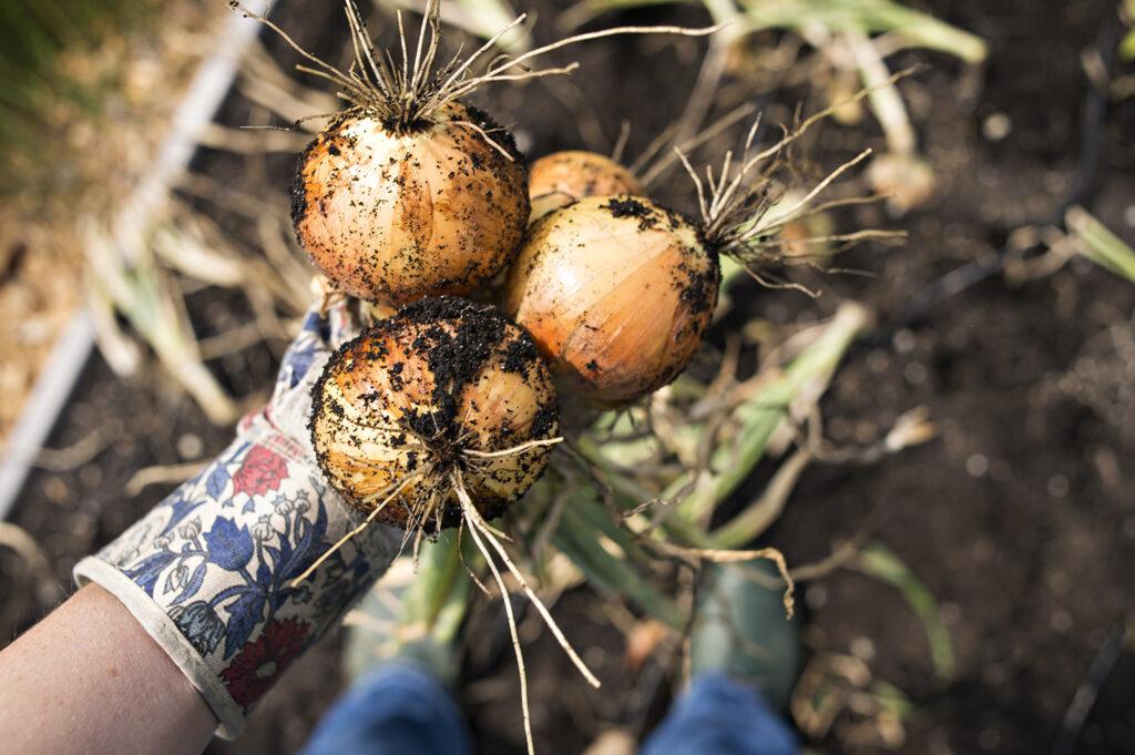 Top 10 Veggie Garden Must-Haves - Onion | Kelly Orzel