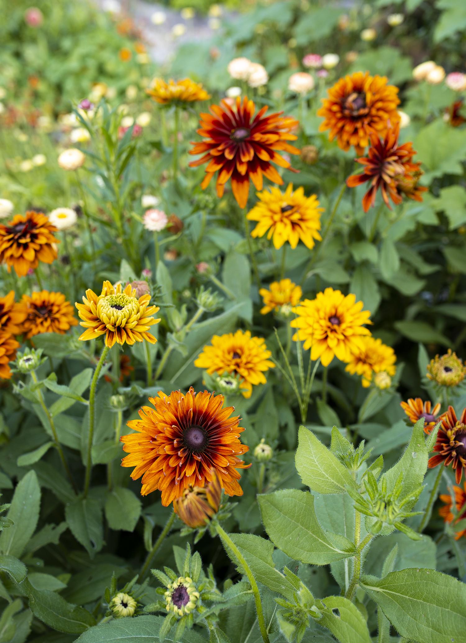 Rudbeckia In Full Sun | Kelly Orzel