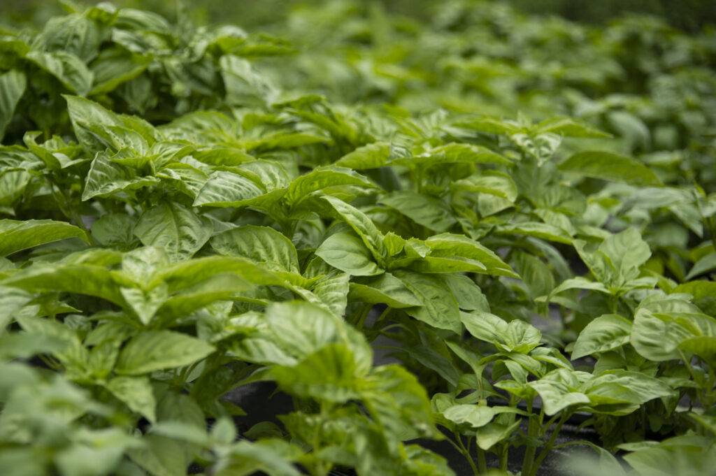 Growing Basil | Kelly Orzel
