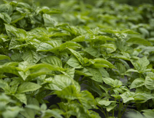 Growing Basil Tips: 5 Tips How to Grow Basil Like a Boss