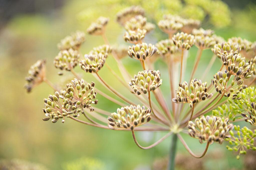 Edible Herbs, Dill Seed | Kelly Orzel