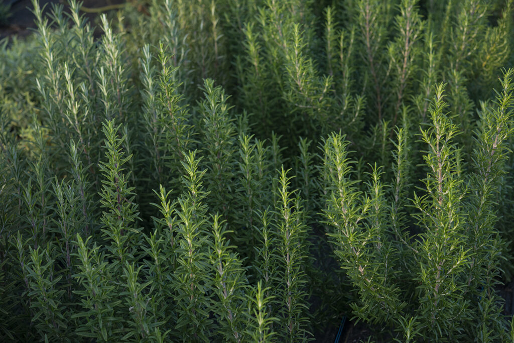 Growing Rosemary | Kelly Orzel