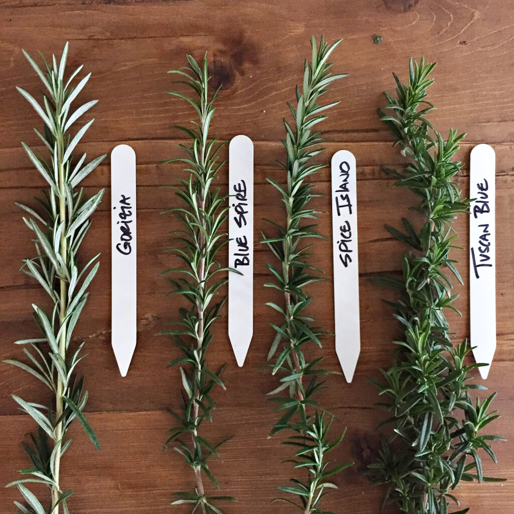 Culinary Rosemary Varieties | Kelly Orzel