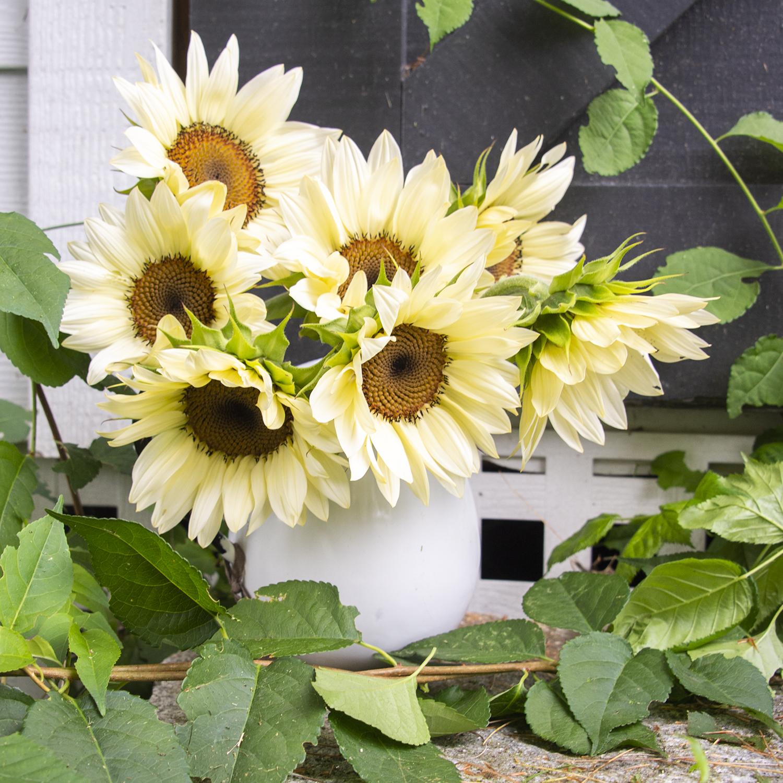 White Lite Sunflowers | Kelly Orzel