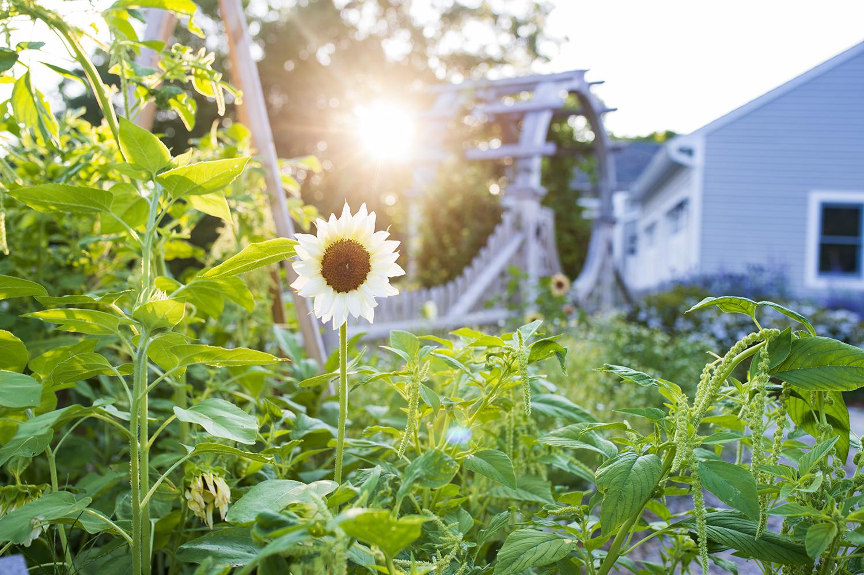 Sunflowers | Kelly Orzel