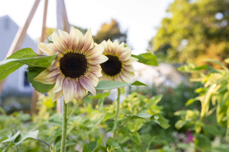 Sunflowers in the Garden | Kelly Orzel