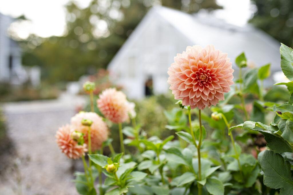 Dahlia Rose Toscano in the garden | Kelly Orzel