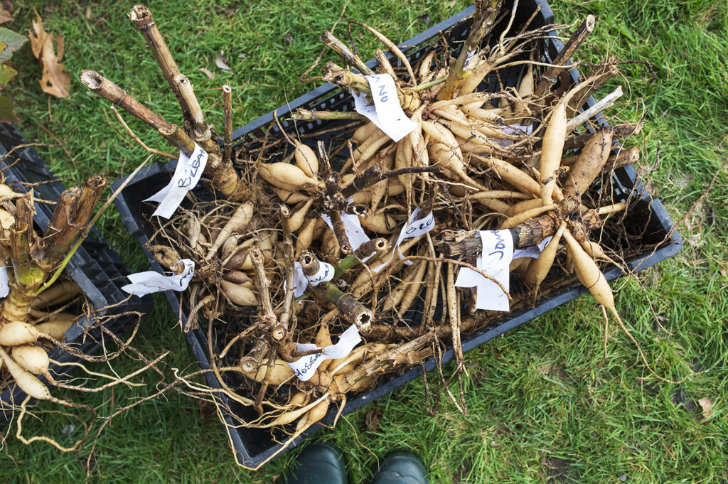 Digging and Dividing Dahlia Tubers | Kelly Orzel