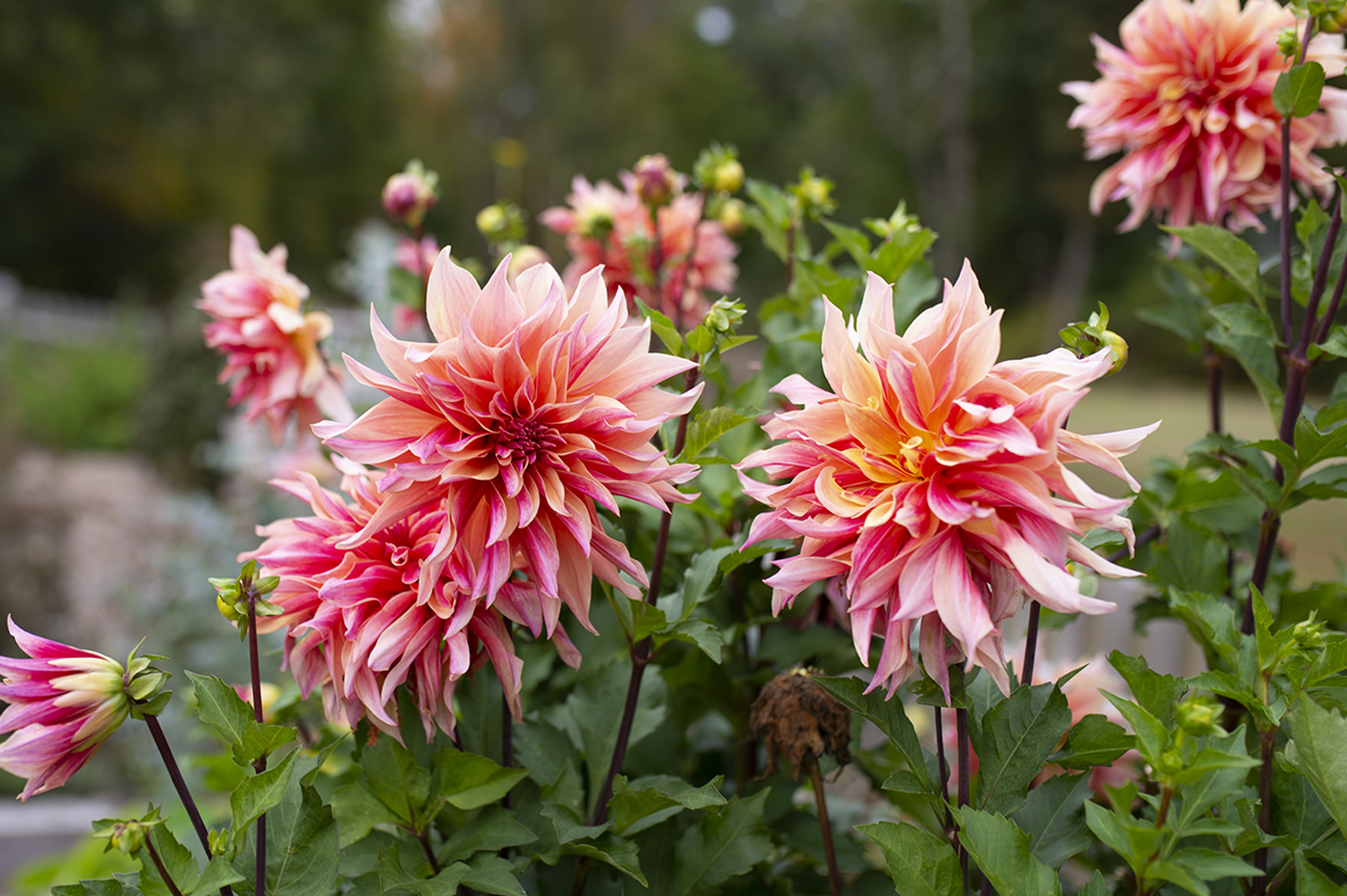 Dahlias: Growing Dazzling Dahlias | Kelly Orzel