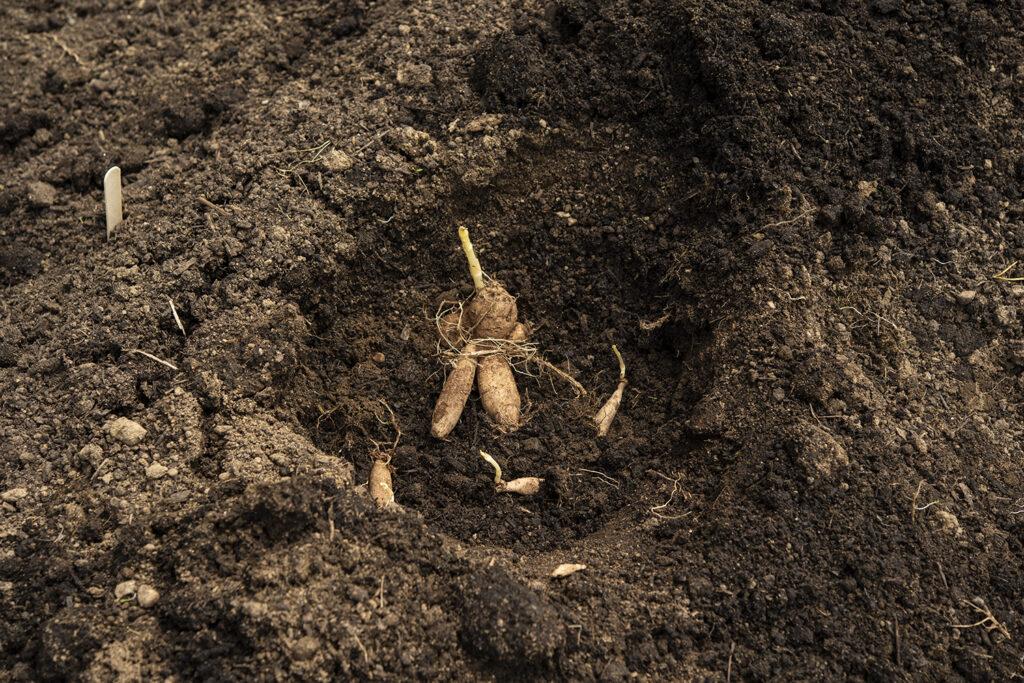 Planting Dahlia Tubers | Kelly Orzel